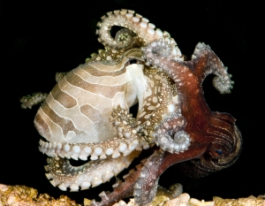 larger pacific striped octopus mating